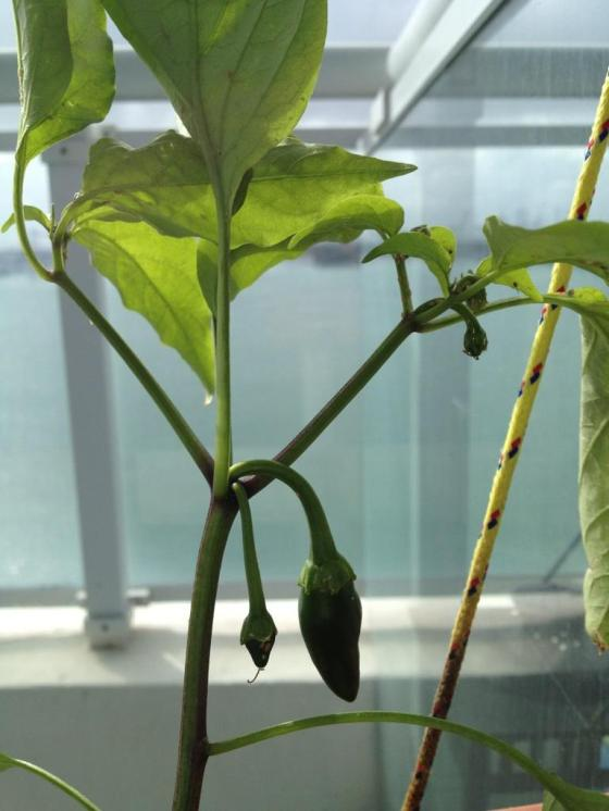 jalapeno hot peppers